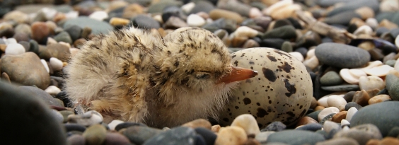 Tern chick wordpress