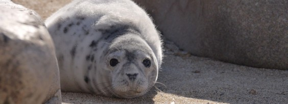 Grey Seal Saltees WP