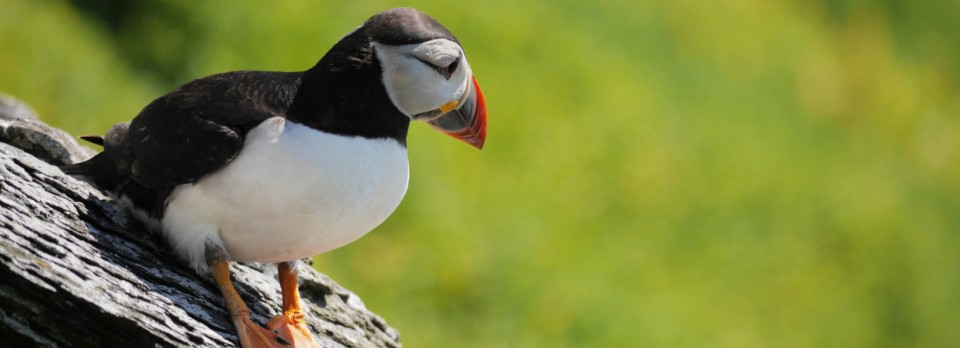 Puffins WP
