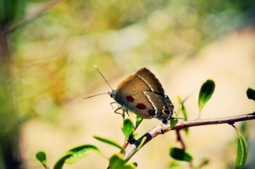 Sinai Hairstreak (Satyrium jebelia)
