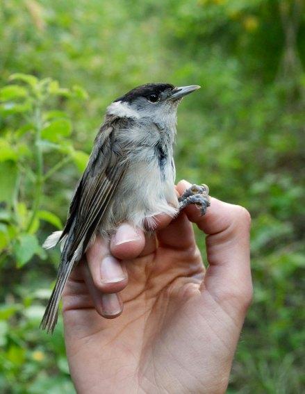 The 1st bird we caught in Cape Verde