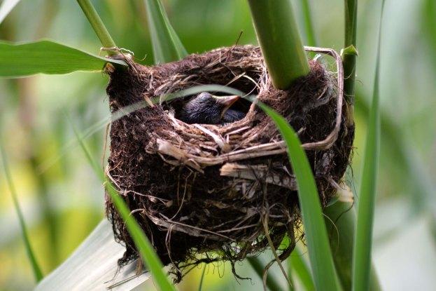 Cape Verde Warbler nest.